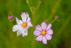 peaceful flowers