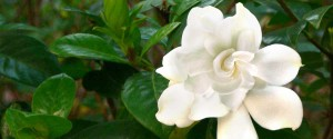 Gardinia blossom, Pretty flower, uplifting flower,nature, inspirational flower
